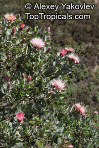 Protea punctata, Water Sugarbush  Click to see full-size image