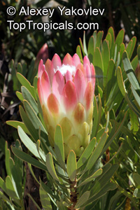 Protea repens - seeds  Click to see full-size image