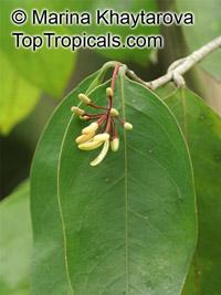 Samadera indica, Niepa Bark TreeClick to see full-size image