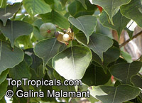 Sapium sebiferum , Chinese Tallow, Popcorn Tree  Click to see full-size image
