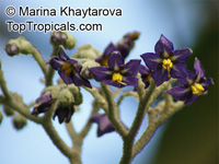 Solanum mauritianum, Woolly Nightshade, Wild Tobacco Bush  Click to see full-size image