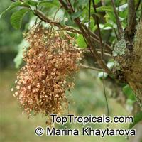 Sterculia monosperma,Sterculia nobilis, Chinese Chestnut, Seven Sister's FruitClick to see full-size image