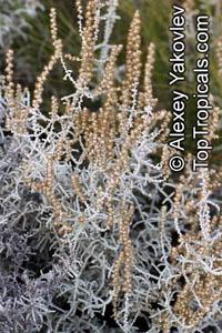Stoebe plumosa, Seriphium plumosum, Slangbos  Click to see full-size image