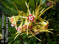 Strophanthus speciosus, Corkscrew Flower, Forest Poison Rope, Forest Tail Flower  Click to see full-size image