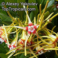 Strophanthus speciosus - Corkscrew Flower  Click to see full-size image