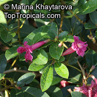 Tabebuia haemantha, Bignonia haemantha, Blood-Red Trumpet Tree, Roble Cimarron, Roble Cimmaron  Click to see full-size image