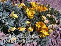 Tropaeolum polyphyllum, Wreath Nasturtium, Andean Nasturtium  Click to see full-size image