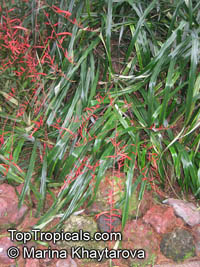 Pitcairnia angustifolia, Pitcairnia  Click to see full-size image