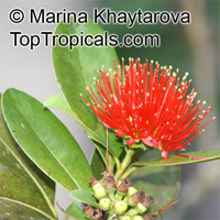 Xanthostemon youngii, Crimson Penda  Click to see full-size image