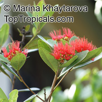 Xanthostemon youngii, Crimson Penda