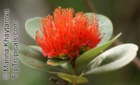 Xanthostemon youngii, Crimson PendaClick to see full-size image