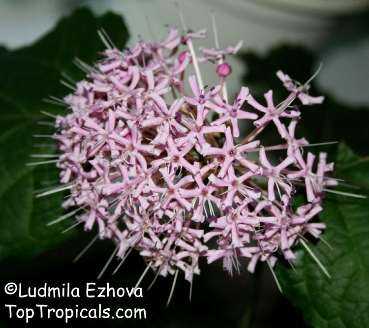 Clerodendrum bungei, Cashmere (Cashmir) bouquet, Glory Bower ...