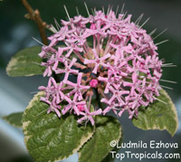 Clerodendrum bungei, Cashmere (Cashmir) bouquet, Glory Bower, Clerodendron
