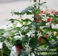 Clerodendrum calamitosum, White Butterfly Bush  Click to see full-size image