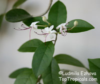 Clerodendrum inerme, Volkameria inermis, Wild Jasmine, Sorcerers Bush, Seaside clerodendrum, Clerodendron  Click to see full-size image