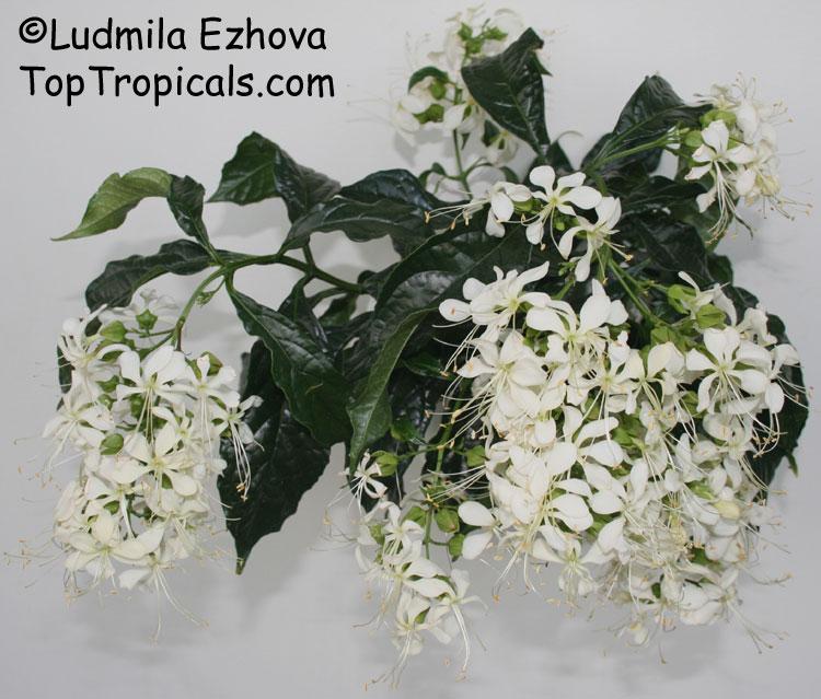 Clerodendrum wallichii, Clerodendrum nutans, Bridal veil, Nodding ...
