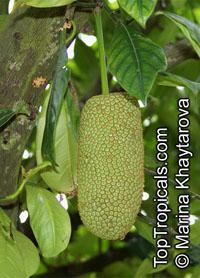Artocarpus sp. Cheena - Jackfruit x ChempedakClick to see full-size image