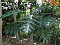Artocarpus scortechinii, Ìerawan, Nangka Pipit, Sparrow's Jackfruit  Click to see full-size image
