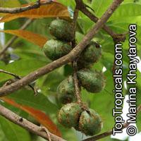 Barringtonia calyptrata, Mango Pine, Cassowary Pine  Click to see full-size image