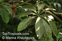 Barringtonia calyptrata, Mango Pine, Cassowary PineClick to see full-size image