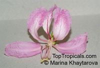 Bauhinia purpurea, Phanera purpurea, Orchid Tree, Butterfly TreeClick to see full-size image