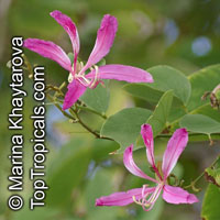 Bauhinia purpurea, Phanera purpurea, Orchid Tree, Butterfly Tree  Click to see full-size image