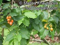 Bunchosia armeniaca, Peanut Butter Fruit, Monk's Plum, Marmela, Ciruela VerdeClick to see full-size image