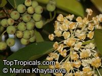 Calophyllum soulattri, BintangClick to see full-size image