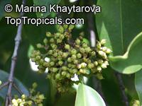 Carallia brachiata, Diatoma brachiata, Petalotoma brachiata, Freshwater Mangrove, CaralliaClick to see full-size image