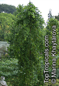 Carallia brachiata, Diatoma brachiata, Petalotoma brachiata, Freshwater Mangrove, Carallia  Click to see full-size image