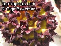 Caralluma speciosa, CarallumaClick to see full-size image