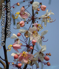 Cassia bakeriana - Dwarf Apple Blossom Tree