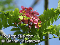 Cassia javanica, Apple Blossom Tree, Apple Blossom Shower