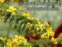 Senna polyphylla, Cassia biflora, Cassia microphylla,Cassia polyphylla, Cassia tenuissima, Peiranisia polyphylla, Desert CassiaClick to see full-size image