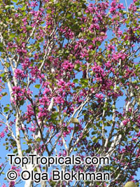 Cercis griffithii, Afghan Redbud, Griffith's Redbud  Click to see full-size image