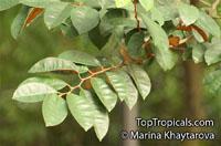 Chrysophyllum cainito, Achras caimito, Caimito, Star Apple, Satin LeafClick to see full-size image