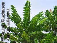 Chukrasia tabularis, Burmese Almondwood, Chickrassy, Chittagong WoodClick to see full-size image