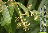 Cinnamomum sintok, Sintok