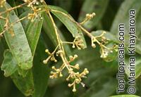 Cinnamomum sintok, Sintok  Click to see full-size image