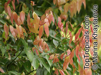 Cinnamomum sp., Cinnamon  Click to see full-size image
