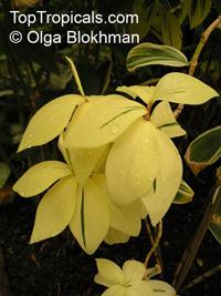 Costus speciosus, Cheilocostus speciosus, Spiral Ginger, Crepe GingerClick to see full-size image