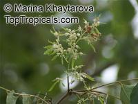 Dalbergia latifolia, Dalbergia emarginata, Black Rosewood, Blackwood Tree, East Indian Rosewood, Indian Blackwood, Indian Rosewood, Malabar Rosewood  Click to see full-size image