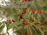Debregeasia sp., Debregeasia  Click to see full-size image