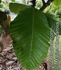 Dillenia ingens, Giant-leaved DilleniaClick to see full-size image