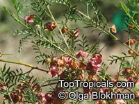 Dodonaea multijuga, Hopseed Bush  Click to see full-size image