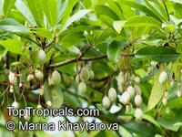 Elaeocarpus sp., Bead Tree, Fringe Bells, Fairy PetticoatsClick to see full-size image