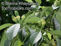 Fagraea auriculata, Fagraea borneensis, Fagraea bracteosa, Fagraea epiphytica, Fagraea javanica, Pelir Musang  Click to see full-size image