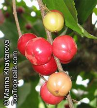 Flacourtia inermis, Rukam, Batoko Plum, Lori-Lori  Click to see full-size image