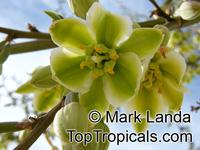 Furcraea sp., Furcraea  Click to see full-size image