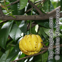 Garcinia atroviridis, Asam Gelugor, Gelugor  Click to see full-size image